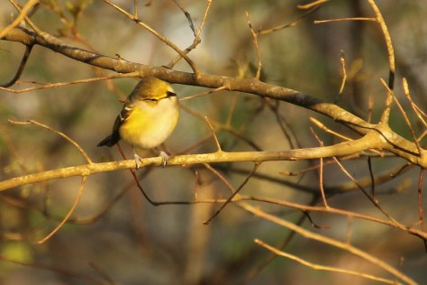 White-eyed Vireo (Setting sun hitting the little guy just right)