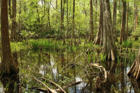Cypress Trees in a Swampy Bog