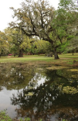 You can see Live Oak trees through out the gardens.