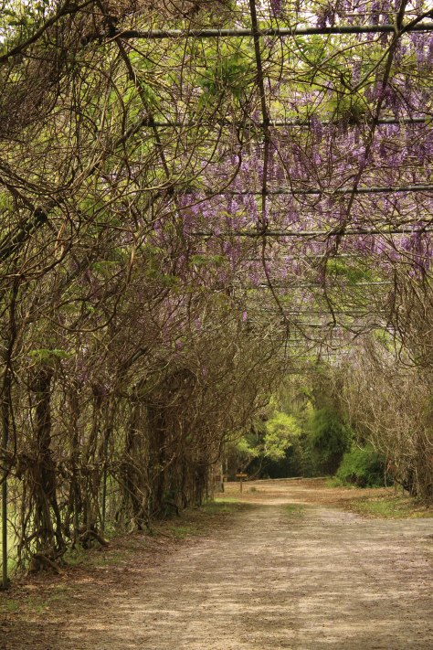 Have you ever driven through a Wisteria Arch?