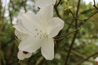 A lovely white Azalea