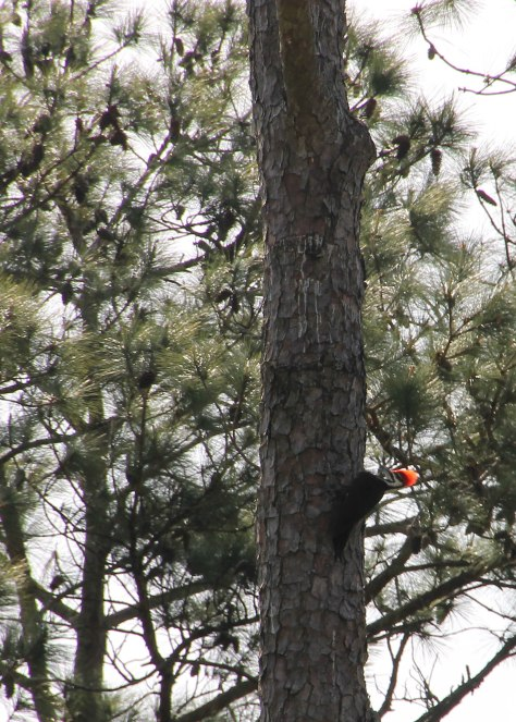 High up in a tall Long Leaf Pine
