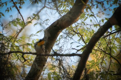 Very hard to photograph, because it was flitting around in the dense trees, zipping in and out of the moss.