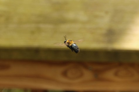 Carpenter Bee, this bee seemed fascinated with my camera