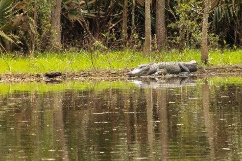 Biggggg Gator