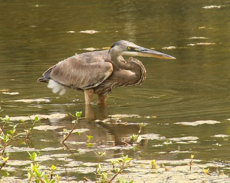 The Great Blue Heron enjoying The Jungle Gardens