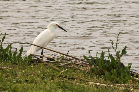 For the love of this bird, it all started over 100 years ago. The beautiful Snowy Egret