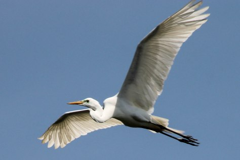 Hi, my name is Eugene and I am a Great Egret