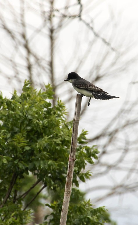 """Do they have handicap access here at ANWR?"" Eastern Kingbird"