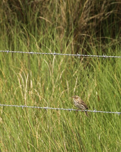 Savannah Sparrow I am not 100% sure of this ID