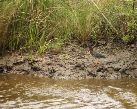 In full view - Green Heron