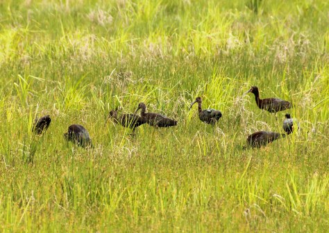 A Glossy Ibis Spring Meeting