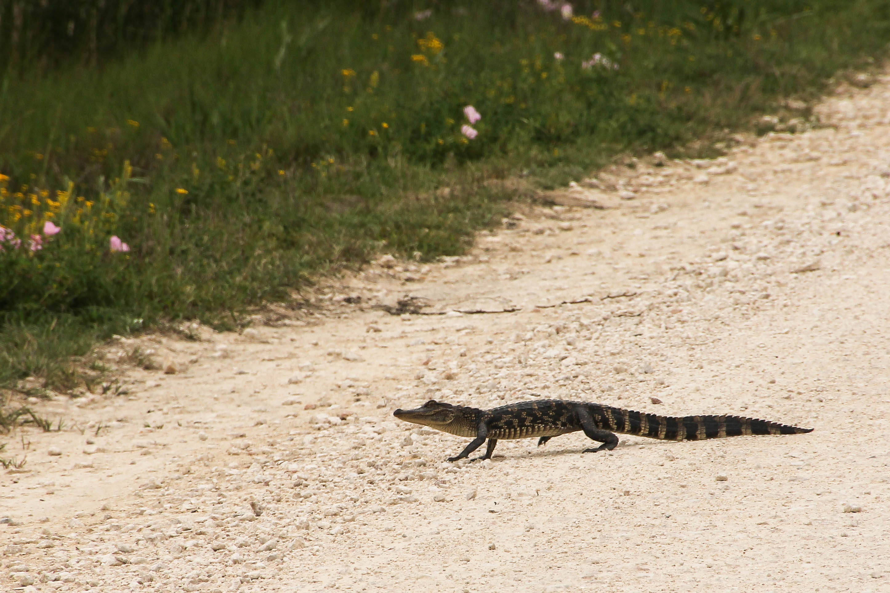 Whimsical Wednesday Why Did The Baby Alligator Cross The Road