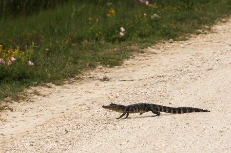 A cute little baby Alligator