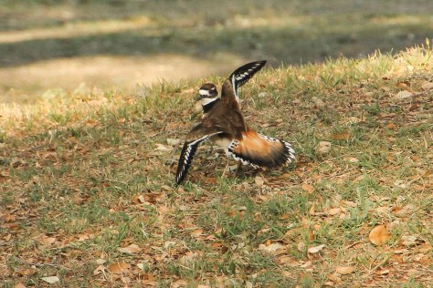 Killdeer Showy wings and tail