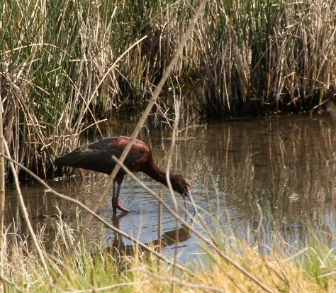 Glossy Ibis feeding at Bitter Lake National Wildlife Refuge