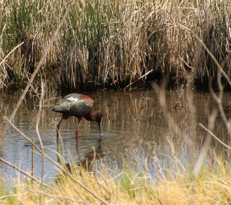 Beautiful feather colors on this Glossy Ibis