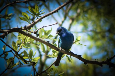 Artsy background highlighting a beautiful Indigo Bunting