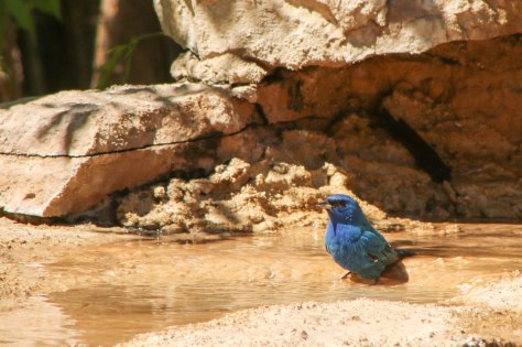 Indigo Bunting taking a bath