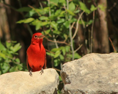 A beautiful Summer Tanager