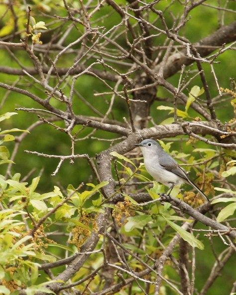 Blue-Gray Gnatcatcher  (long black tail with white outer feathers)