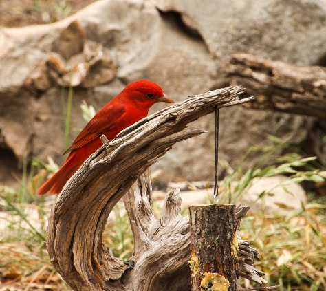 Summer Tanager eyeing  a suet feeder