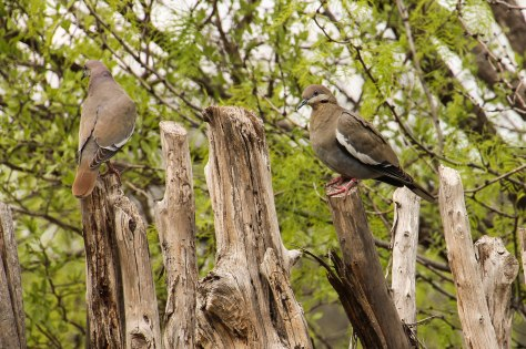 White-winged Doves sitting on an old fence