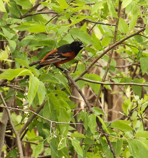 This was my first sighting of the Orchard Oriole