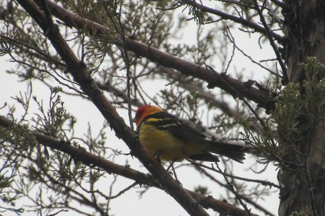 Western Tanager on a very cold MAY day