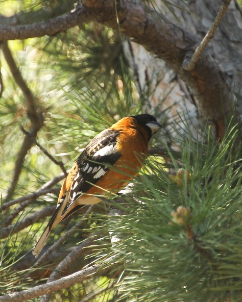 Black-headed Grosbeak (male)
