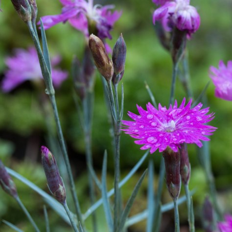 Dianthus Flowers, after a rain