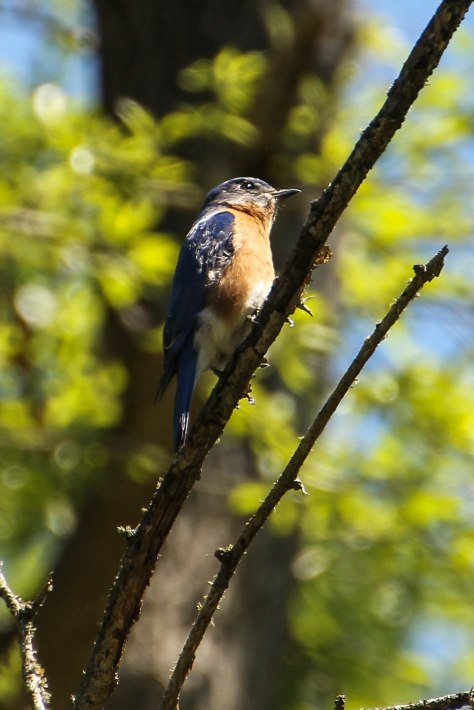 Light shines into the heart of an Eastern Bluebird