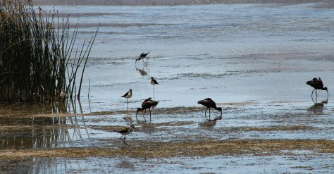 Black-necked Stilts and White-faces Ibis