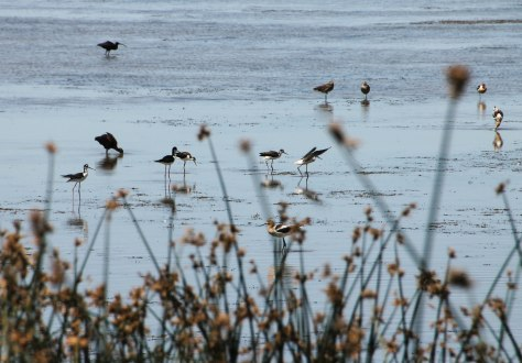 Avocet, Stilts and White-faced ibis