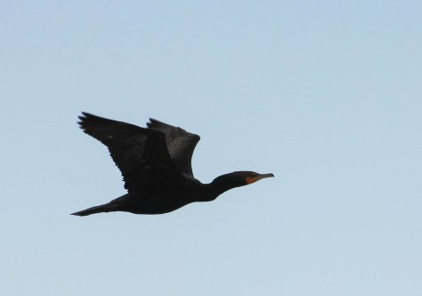 I believe this is a Double-crested Cormorant
