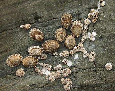 Barnacles on a Log