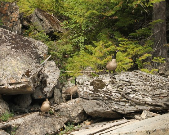 Emerging from the forest is a Canada Goose Family