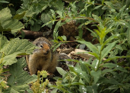 Columbian Ground Squirrel Glacier National  Park