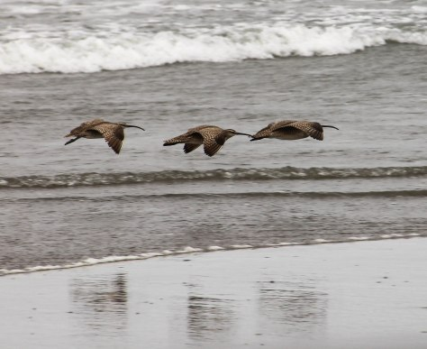 Whimbrels in Flight