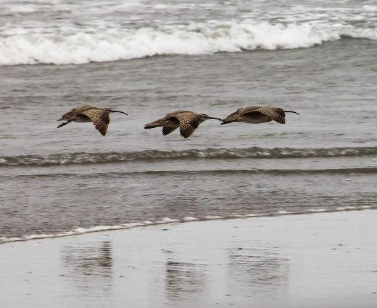 Whimbrels in Flight