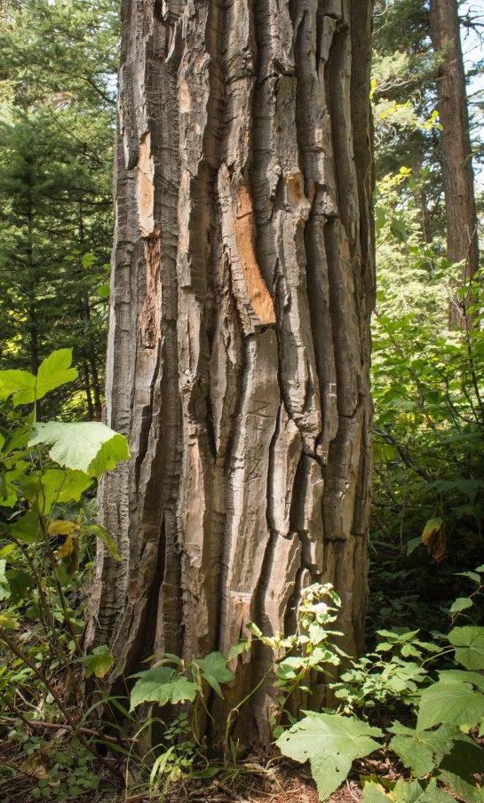 Black Cottonwood Tree