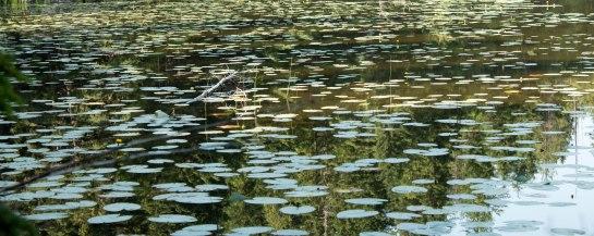 Lily Pads on John's Lake