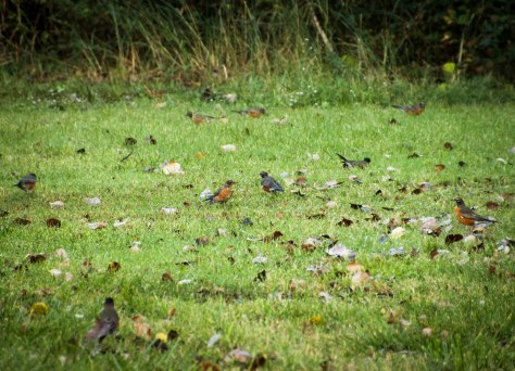 Robin Gathering