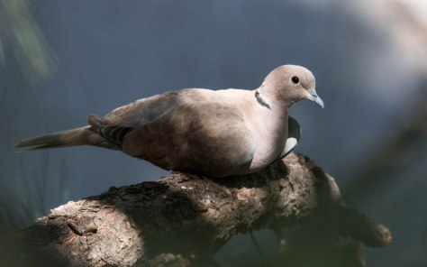 Eurasian Collared Dove-a beautiful,  peaceful visitor to my yard.