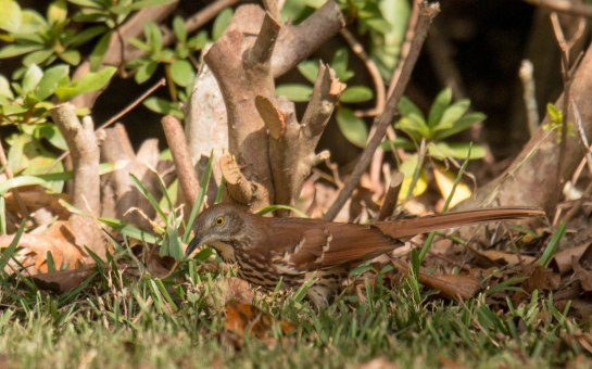 BrownThrasher (photo taken in Mississippi)