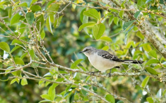 Northern Mockingbird (photo taken in Mississippi)