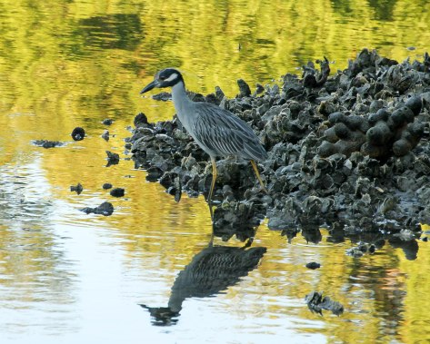 Yellow-crowned Night-Heron (adult)