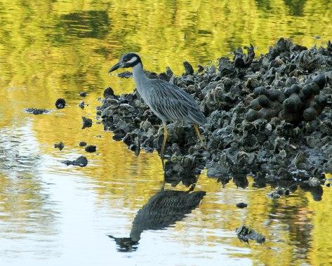 Yellow-crowned Night-Heron (adult)