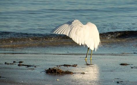 Snowy Egret canopy fishing