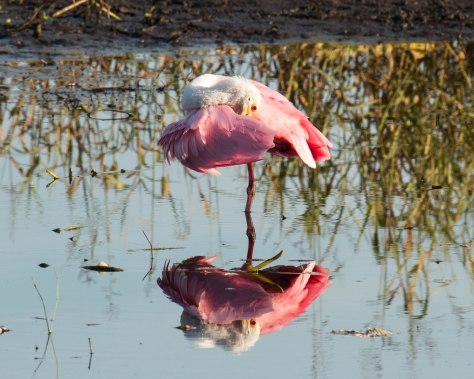 Roseate Spoonbill (photo taken 11/11/2014 on Myakka River in Myakka River State Park)